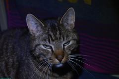 Neelix the cat. (PhotoTJH) Tags: pet eye animal cat nose mackerel grey kat feline european pattern tabby shorthair huisdier kater grijs oog neus europese patroon makreel korthaar neelix cyper cyperse phototjh phototjhnl