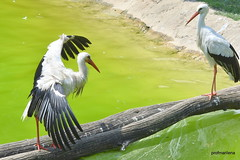 Bird rituals for bird experts , storks,  beginning  - Le Cornelle (profmarilena) Tags: storks lecornelle nikond810 nikkor135f2 storksritual