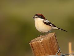 Pie-grièche à tête rousse (fbarz) Tags: france bird oiseau 34 hérault woodchatshrike laniussenator piegriècheàtêterousse passériformes laniidés