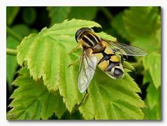 Zweefvlieg (Omroep Zeeland) Tags: tuin middelburg zweefvlieg