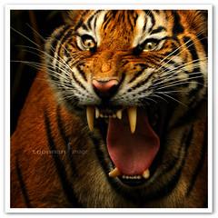 Zoo Negara Kuala Lumpur - Tiger (TOONMAN_blchin) Tags: tiger malaysia zoonegarakualalumpur toonman mygearandme mygearandmepremium mygearandmebronze mygearandmesilver mygearandmegold mygearandmeplatinum mygearandmediamond