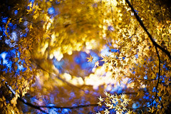 Swirling Autumn (moaan) Tags: life leica november autumn sunlight sunshine digital canon 50mm glow dof bokeh japanesemaple kobe utata glowing tinted m9 神戸 f095 mountrokko 2011 tinged momji autumnaltints inlife canon50mmf095 leicam9 再度公園