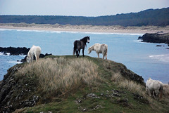 Horses on Ynys Llanddwyn (Andy - enjoying your pics) Tags: horses dusk ynysmon anglesey llanddwynisland newboroughforest ynysllanddwyn niwbwrchforest
