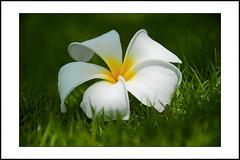 close-up #14 (e.nhan) Tags: life flowers light white black flower green art nature leaves yellow closeup leaf spring colorful colours dof bokeh frangipani backlighting enhan