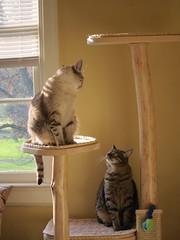 Riza and Mei (jk079) Tags: kitties mei cattree riza