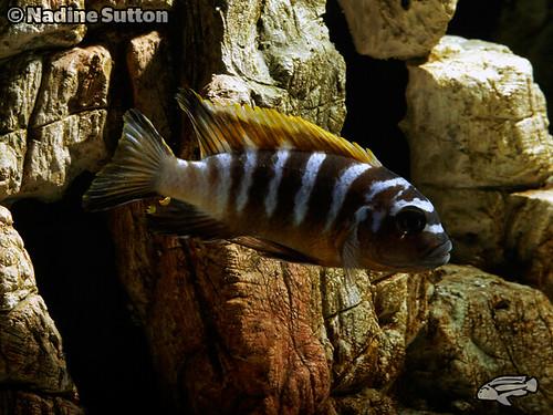 Metriaclima sp. 'zebra long pelvic' Gallireya Reef