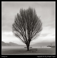 lonely too (Intrepid Tripod) Tags: blackandwhite lake tree 6x6 silhouette square cloudy britishcolumbia 1995 benches baretree singletree yashicamat shuswaplake february19