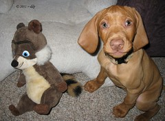 The Toy Raccoon & His Codependent Relationship with Rose the Vizsla Puppy (Pixel Packing Mama) Tags: cute 1025fav gorgeous adorable domesticviolence pixelpackingmama dorothydelinaporter favorites15 greatpixgallery10faves bonzag codependence reallyunlimitedpool worldsfavoritepool obsessivephotography30perdaypool picturestakenwithcanonpowershota2000isorcanonpowershota720isin2011 pixuploadedsecondof2011set favdone rosethehungarianvizslapuppyset christmastime2011set ifsomeoneisabusingyoumakethecallforhelp pixtakeninsecondof2011set 10favesandlessthan200viewswhenadded wordsfavoritepool pixuploadedfirstof2012set pixtakeninfirstof2012withcanonpowershota2000isorcanonpowershota720isset worldsfavoritegroup comingsoontoflickrnearyou~my20thousandthphototonightisthenightmay112012 somepixtakenafterfebruary62012maybewithnikoncoolpixl24set pleasekeepkyronhormaninyourthoughtsasweetyoungboywhodisappearedalmost2yearsago imamveryclosetohavinguploaded20000picturesbydialupitisalaborofloveiwouldlovesomecommentsofencouragementtoreachthe20000mark oversixmillionaggregateviews rosethehungarianvizslapuppy~dogset over430000photostreamviews