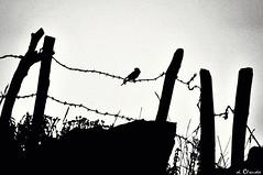 Wiegala - a tribute to Ilse Weber - [EXPLORE #208] (dClaudio [homofugit]) Tags: bw bird war explore tribute weber ilse d90 wiegala mygearandme