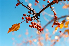RED, TURQUOISE, GOLD (La Branĉaro) Tags: november autumn sun sunlight newmexico tree slr fall mamiya film leaves sunshine berries fallcolor kodak branches bluesky 35mmfilm brightcolors treebranch abiquiu autumncolor redberries yellowleaves clearday ektar goldleaves nc1000s nc1000 turquoisesky ektar100 mamiya50mmf17