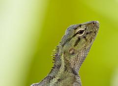 Chameleon(cropped) (Sandeep Santra) Tags: india macro green eye nature closeup canon garden eos asia background cropped chameleon 500d incredibleindia efs55250mmf456is girgiti mygearandme ringexcellence chandannangar