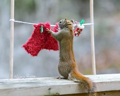 Just need one more clothespin... (Nancy Rose) Tags: wild miniature squirrel day humour laundry blanket clothesline mittens clothespins