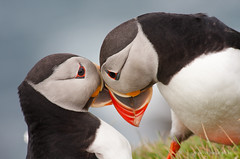 Puffin (Kees Waterlander) Tags: birds papegaaiduiker vogels shetland unst uk verenigdkoninkrijk greatbrittan grootbrittannië