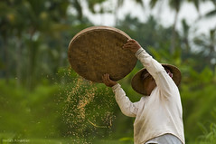Harvest (Heilah Alnasser) Tags: bali rice harvest