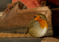 The was an old woman who lived in a shoe (Mukumbura) Tags: uk england cold bird robin weather outdoors shoe erithacusrubecula wildlife freezing doormat sunbathing thewasanoldwomanwholivedinashoe