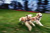 | A Christmas Day Run in the Park | (SOBPhotography) Tags: rescue dog chien pet dogs cane goldenretriever golden canine hond retriever perro hund trinity brady goldenretrieverrescue flickraward