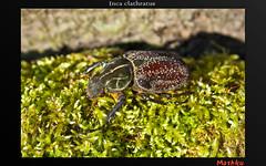 Inca clathratus (Mashku) Tags: nature beetle insects beetles coleoptera cetoniidae cetoniini cetoniine