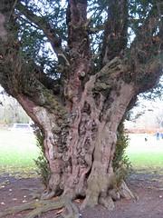 Ancient Yew, Christchurch Park, Ipswich, Suffolk (wonky knee) Tags: uk suffolk yew ipswich christchurchpark ancienttree 600yearsold