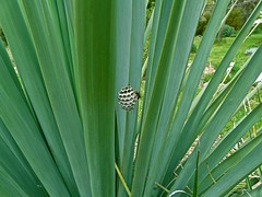 Wasp nest on Nolina nelsonii (Colours of Pays Cathare) Tags: wasp nest nolina nelsonii