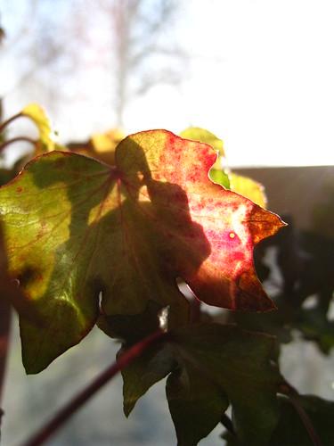 #17 Red Ivy