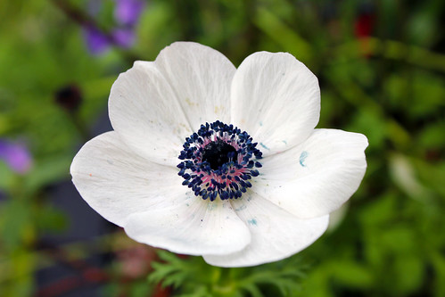White poppy seed flower a photo on flickriver white poppy seed flower mightylinksfo