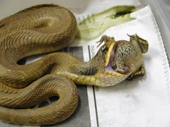 Eastern Hognose Snake (kaptainkory) Tags: usa ar eating reptile snake unitedstatesofamerica toad prey legless hognose hognosed squamata squamate ingesting snakeheterodonplatirhinos