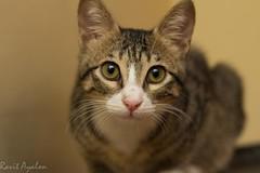 Phoebe (mad artichoke) Tags: pet animal cat canon eos 50mm kitten 60d catnipaddicts