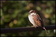 Moineau (sand_bcn) Tags: parque españa bird canon spain ave espagne parc oiseau cataluña barcelone moineau catalogne ciutadela parajo okpano