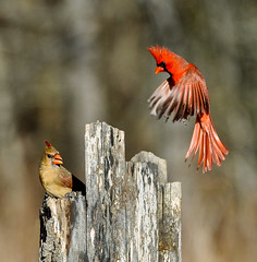 Hey Mama, what's shakin (C E Andersen) Tags: inflight cardinal km kensingtonmetropark