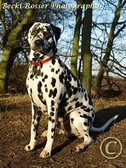 Woodland Rest on a Crisp winters day (Beckles Creations) Tags: wood dog proud walk hound spot chester dalmation dalmatian doncaster doncasterracecourse sandallbeatwood armthorpepittop armthorpehill
