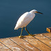 Egret On Deck