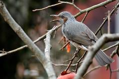 (myu-myu) Tags: bird nature japan nikon mygarden    wildbird brownearedbulbul  diospyroskaki hypsipetesamaurotis  kakipersimmon d300s aiafsnikkor300mmf4difed
