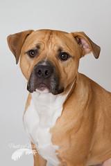 The face of innocence (Penelope Malby Photography) Tags: rescue dog mastiff canine bailey needahome mastiffcross staffycross tanandwhitedog epsomcaninerescue