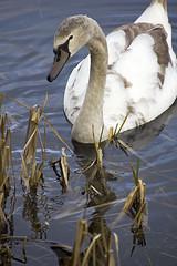 Graceful cygnet at Bathpool Park (OriginalTake) Tags: lake bird water animal swan cygnet stokeontrent bathpool