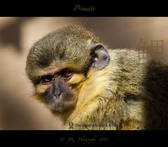 Talapoin Monkey (Pete 5D......) Tags: world old detail monkey eyes looking sharp primate talapoin canon5dmarkii mygearandme mygearandmepremium mygearandmebronze mygearandmesilver mygearandmegold allofnatureswildlifelevel1 allofnatureswildlifelevel2 allofnatureswildlifelevel3
