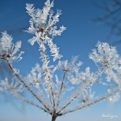 Cold and Nice - Froid et beau (monteregina) Tags: blue schnee sky plants white canada abstract macro texture ice nature fog closeup sparkles flora frost crystals hoarfrost patterns freezing sparkle formation bleu ciel qubec transparent rime plantae eis blanc sparkling raureif plantes glace desing crystallized flore jackfrost encrusted eisblumen reif planze glitters abstrait whitefrost eiskalt kristalle cristaux rauhreif frostflower frimas frostflowers eiskristalle frostcrystals iceformation icepatterns geleblanche monteregina fleursdegivre fleursdeglace crystalpatterns