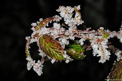 Gelo (fil_de_fer) Tags: winter macro frost inverno freddo galaverna romanodilombardia parcodelserio