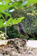 A bush robin ??