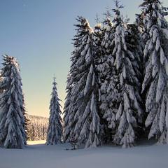 tli erd / winter forest (debreczeniemoke) Tags: winter snow forest landscape hiking pinewood tjkp h tl erd tra fenyves canonpowershotsx20is outstandingromanianphotographers