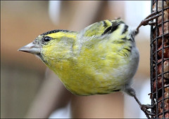 Siskin Striking A Pose (Judy's Wildlife Garden) Tags: judykennett knightonpowys siskinstrikingapose