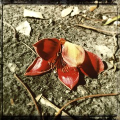 (MarkGoBlue) Tags: flower loftus iphone kapok kapoktree iphone4 iphoneography hipstamatic loftuslens