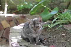 Enfermito (patriciamura) Tags: chile pet animalitos animal animals cat gato felino animales catz mascota mascotas gatito copiapo minino micifuz