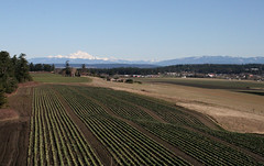 Cabbage fields and Mount Baker (Librarianguish) Tags: walk gorgeous bluff sunnyday 212 ebeyslanding unseasonablywarm