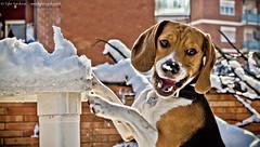 Arf (Tyler Nardone) Tags: dog roma beagle cane neve naso orecchie nevesuroma