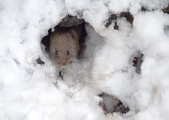 Bank Vole in the Snow (John (Gio) * OVER 100,000 VIEWS *) Tags: snow nature mammal kent wildlife olympus gio smallmammal fourthirds bankvole muridae clethrionomysglareolus zuikodigitaled50200mmf2835swd