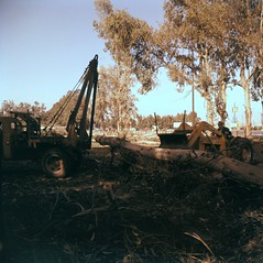 Removing orange groves, Orange County, 1950s (Orange County Archives) Tags: california trees history farming historical southerncalifornia orangecounty agriculture windbreak orangecountyarchives orangecountyhistory