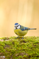 Msange Bleue, blue tit (Zed The Dragon) Tags: wild bird birds french geotagged effects photography photo flickr tits minolta photos iso400 sony images full le frame getty sur fullframe alpha antony parc postproduction franais bluetit sal zed gettyimages oiseaux 2012 francais bleue sceaux lightroom f40 effets msange 200mm parcdesceaux 24x36 a850 0004sec sonyalpha hpexif parcsceaux dslra850 alpha850 zedthedragon minoltaapo80200hs mosaique2012a