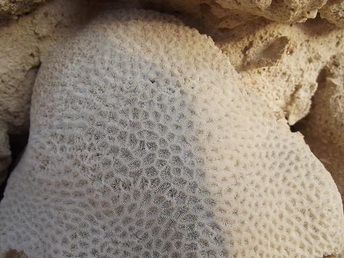Fine coral