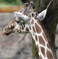 Giraffe (sandy richard) Tags: usa oregon portland zoo unitedstates portlandoregon oregonzoo sandyrichard sandrarichard