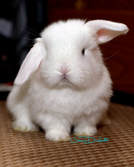 Holland Lop (JamieDrakePhotos) Tags: rabbit bunny lapin hollandlop threeweeks rabbitkits